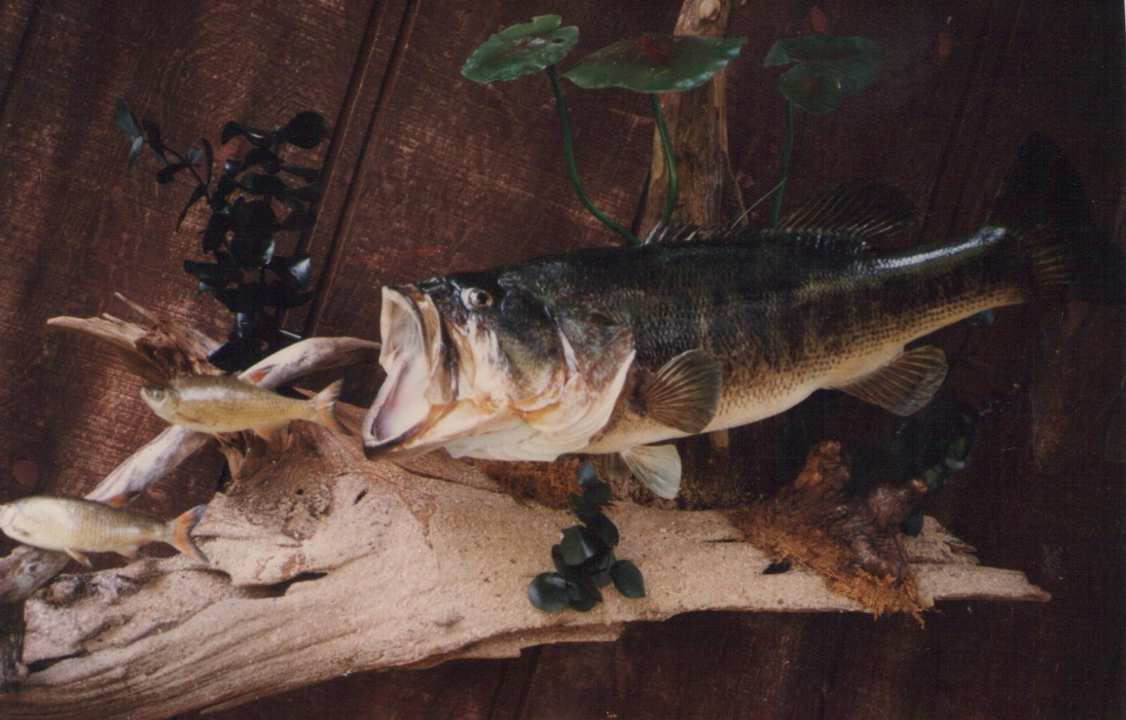Fish taxidermy projects american wildlife studios for How to taxidermy a fish