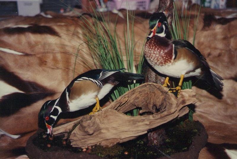 Baton Rouge Taxidermist Work - Mallard Ducks