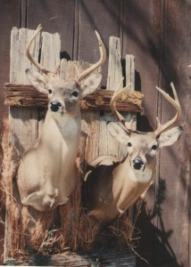 Baton Rouge Taxidermist Work - Deer
