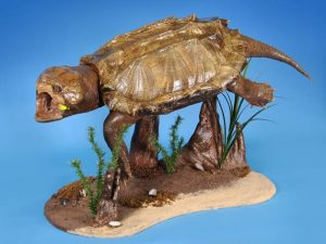 Turtle Taxidermy Project - 120 Lb. Alligator Snapping Turtle