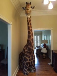 African Giraffe Taxidermy