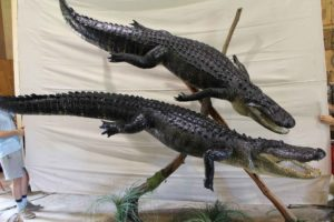Taxidermy Display of 2 Alligators