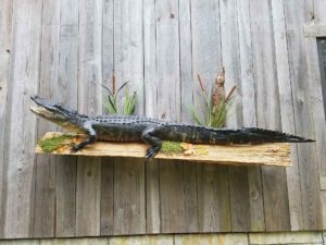 Alligator Taxidermy Louisiana