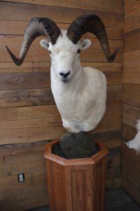 North American Taxidermy Big Horn Sheep