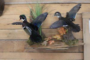 Louisiana Bird Taxidermist Project