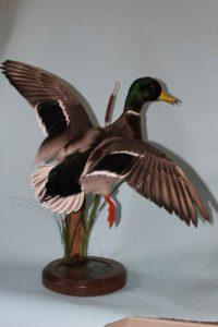 Mallard Duck Taxidermy