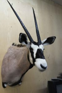 African Gemsbok Taxidermy