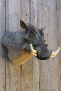 African Warthog taxidermist