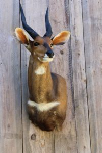 African Nyala Taxidermy