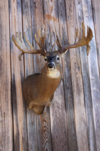 Deer Trophy Taxidermist
