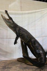 Professional Alligator Taxidermist