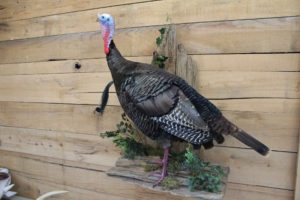 Turkey Taxidermy Project by David Spiess
